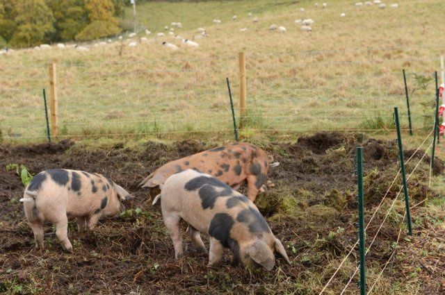 The Oxford sandy and black pigs. ©Lorne Gill/SNH