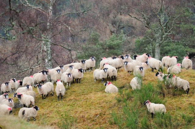 Sheep-D3156.jpg