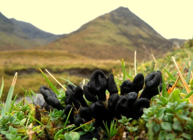 The Hairy Earthtongue, found here in upland grassland in Skye