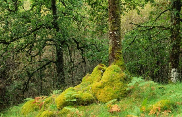 Mossy oakwood at Ariundle NNR. ©Lorne Gill/SNH