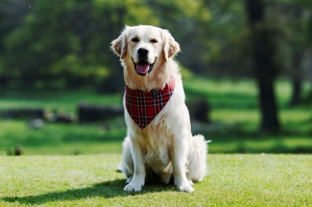 George, VisitScotland's Ambassadog. Photo courtesy of Duke photography.