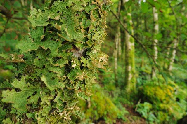 Lichens growing in a woodland at Barnluasgan, Argyll. ©Lorne Gill/SNH/2020VISION