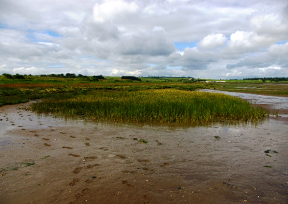 July 2015 - a thriving plot of Sea Club Rush originally planted in 2003 in front of a rapidly degrading stand of natural saltmarsh, which has since recovered.