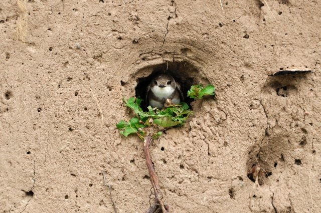 Sand martin adult prospecting an existing nest burrow in an exposed earth bank on river bank. ©Laurie Campbell