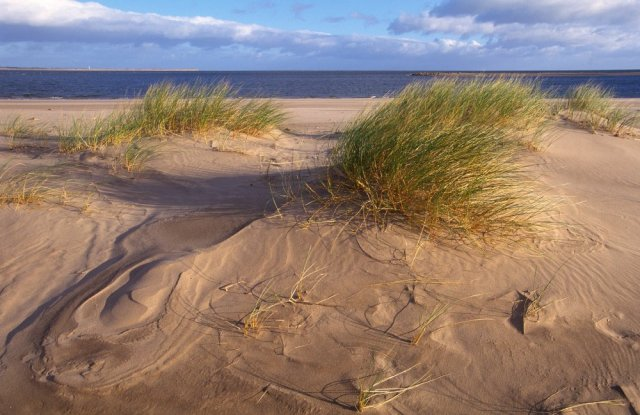 Sand dunes and Marram grass at Tentsmuir NNR © Lorne Gill