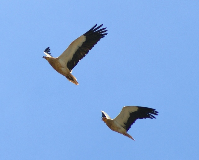Egyptian vultures. © putneymark, Creative Commons
