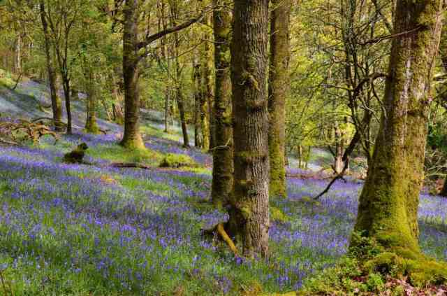 Bluebells among oak, Inchcailloch, Loch Lomond.