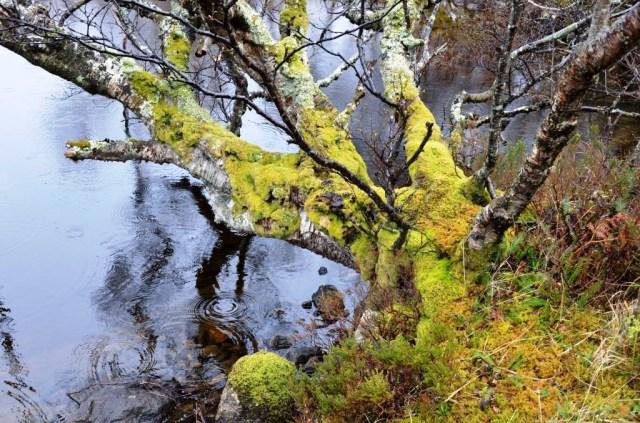 Birch, Loch a Chreagan Daraich, Sutherland.