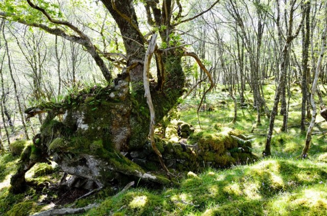 Oak and shieling at Allt an Loin, Loch Morar, Lochaber.
