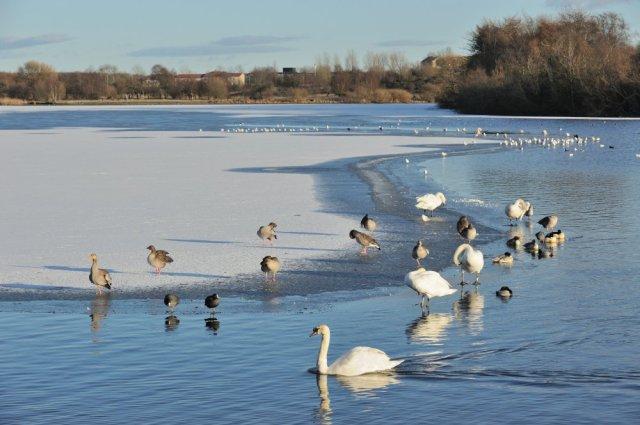 Geese on frozen Hogganfield Loch, Glasgow. ©Lorne Gill/SNH