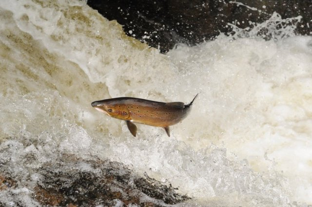 Atlantic Salmon leaping up a waterfall on the River Almond. ©Lorne Gill/SNH/2020VISION