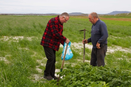 Crofters in Berneray picking potatoes from cultivated strips of sand machair, cultivated by using dung and seaweed. The same area contains nesting little terns. Sustainable agriculture maintaining biodiversity as part of agricultural practice.