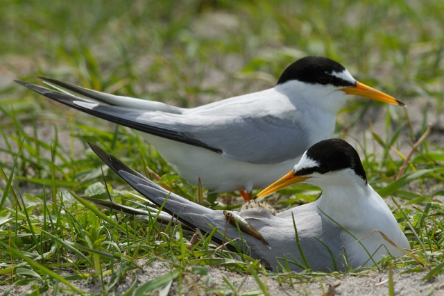 Two little tern, one with sand eel at the nest amongst black oats growing on shell rich sands Machir, Islay.