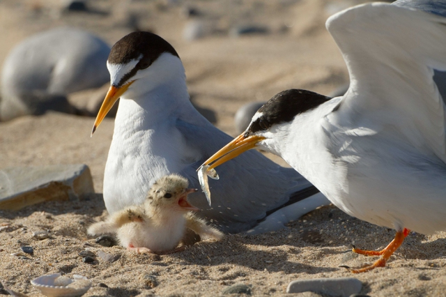 Little terns feeding a sand eel to their newly hatched chick.