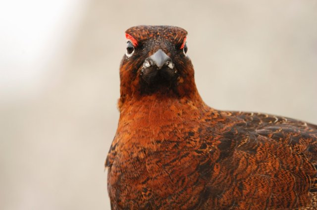 A male red grouse. ©Lorne Gill