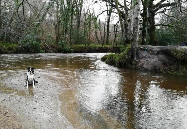 Our Collie Ollie enjoying a splash in our local River Fowey, he barks when it's time to leave!
