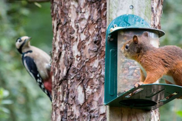 Red squirrels have to share the feeders with a number of birds, including great spotted woodpeckers