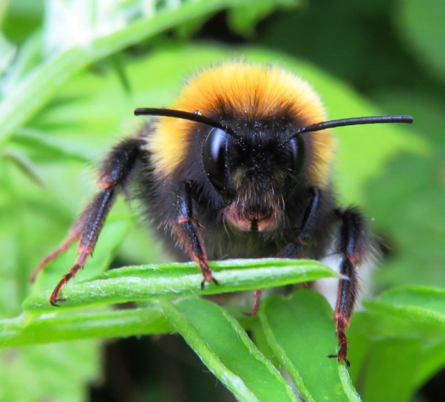 White-tailed bumblebee. © Tammy Andrews