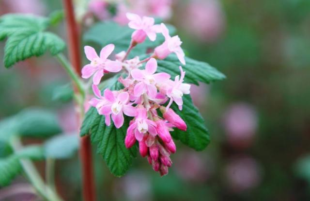 Flowering currant. © BBCT