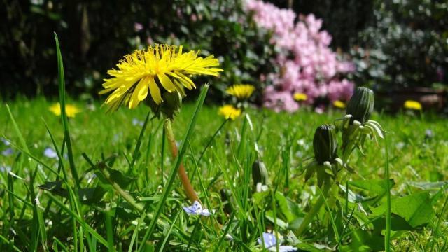 Dandelions in a lawn. © BBCT