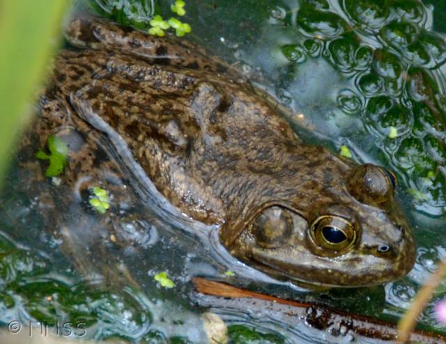American bullfrog in a pond in Sussex © NNSS, Crown Copyright, 2009