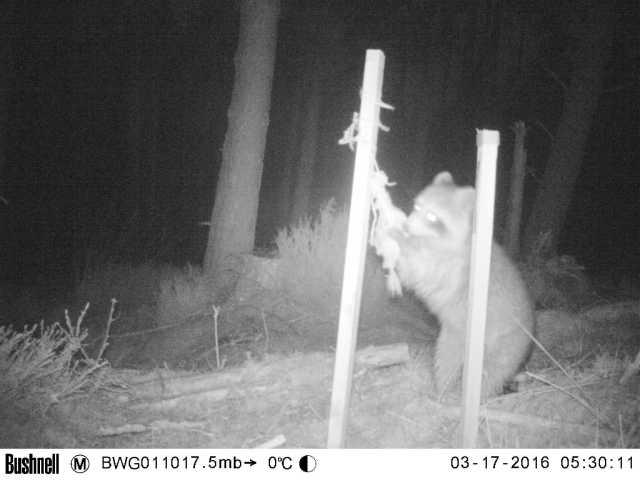 Raccoon captured on a remote camera ©Blackwater Wildlife Group