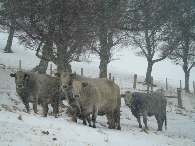 Gascon cattle in the snow on Ruthven farm. (c) Jim Simmons