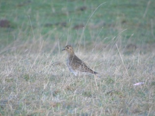 Golden Plover as spotted by Jim on the farm.© Jim Simmons