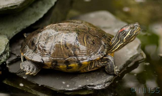 Red eared terrapins © NNSS, Crown copyright 2009