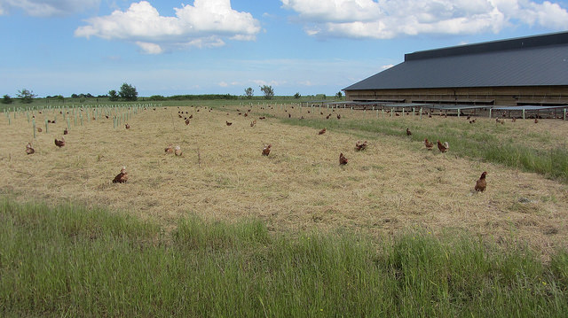 Woodland egg production provide an enriched range for hens. ©Organic Research Centre