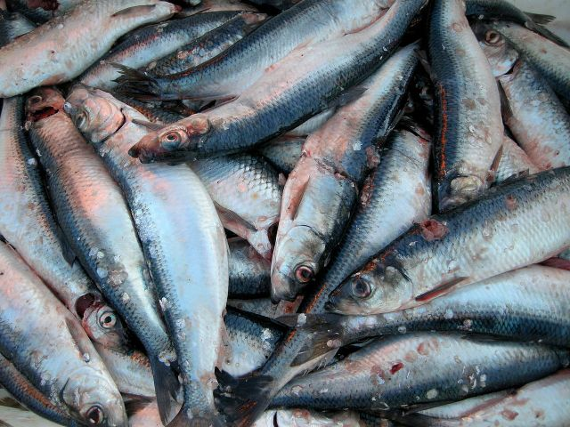 Herring catch by Atle Grimsby from Utsira, Norway (Herring catch at Utsira) [CC BY 2.0  (https://creativecommons.org/licenses/by/2.0)], via Wikimedia Commons