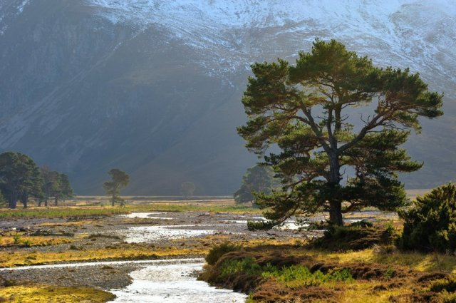 Scots pine growing beside the River Feshie, Glenfeshie. ©Lorne Gill