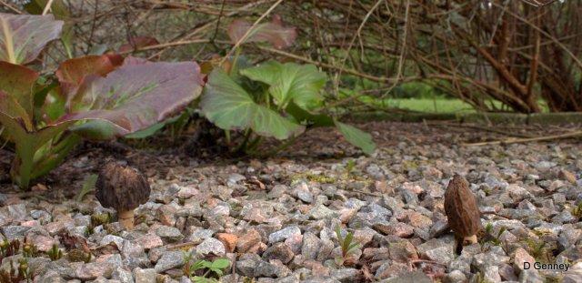 Morchella elata in garden gravel