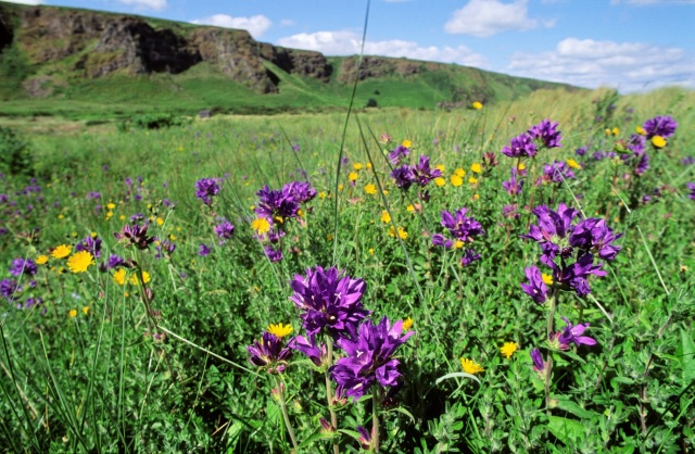 Clustered Bellflower at St Cyrus - Lorne Gill-SNH