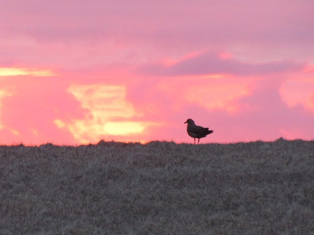 Great skua on moorland at sunrise (photo - Glen Tyler)