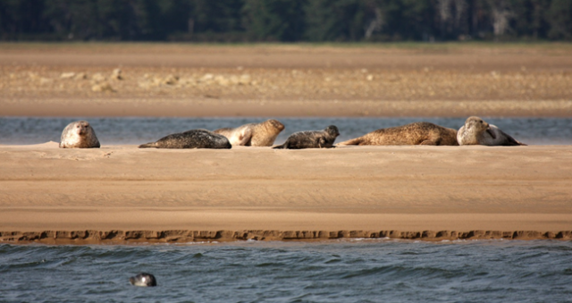 A group of harbour seals on the sand flats at Loch Fleet NNR © University of Aberdeen