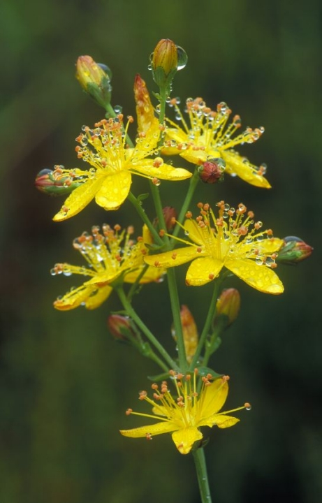 Slender St Johns Wort. Beinn Eighe NNR, Wester Ross  ©Laurie Campbell/SNH