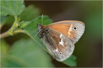 Peat bogs are amazing places for wildlife like this Large Heath Butterfly. The word for butterfly in Gaelic is dealan-dé. ©Jim Black/ Butterfly Conservation Scotland