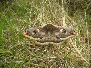 The female emperor moth is significantly larger than the male and has a wingspan of up to 9cm making it one of Scotland's largest moths. The word for moth in Gaelic is leòmann. ©Adrian Breeman/Butterfly Conservation Scotland