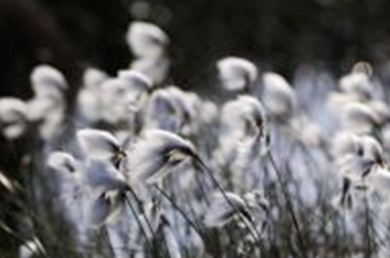 Cotton grass blowing in the wind. © Lorne Gill/SNH