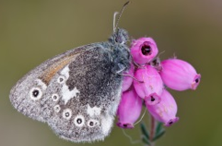 Large heath butterfly. © Alistair Graham/Butterfly Conservation Scotland