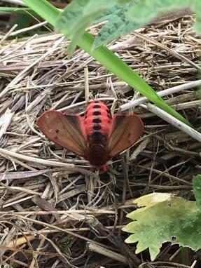 Ruby Tiger moth Phragmatobia fuliginosa