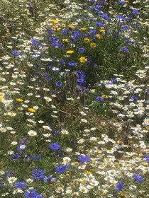 Agri-environment schemes encourage the growth of native plants such as wildflowers. (c)Alison Shepherd