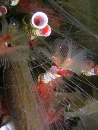Serpulid reef (C) SNH