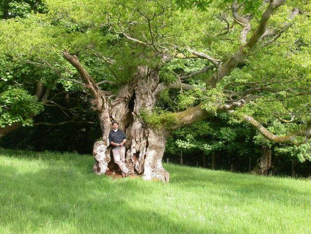 An ancient oak at Cadzow Park, Hamilton. (c) Kate Holl