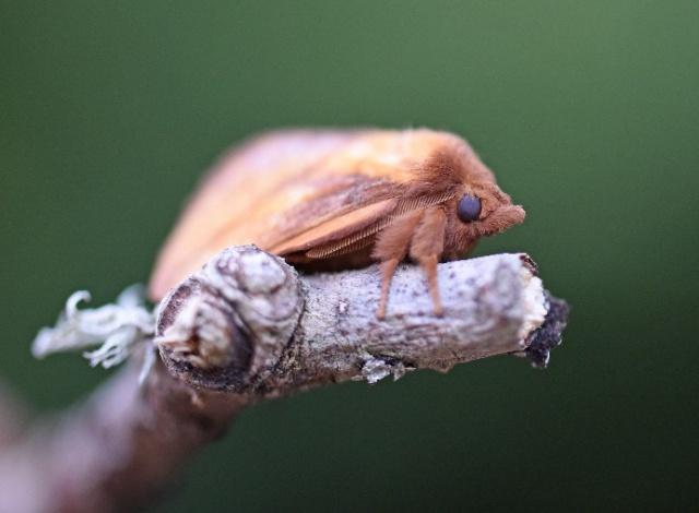 Drinker Moth ©Caroline Anderson