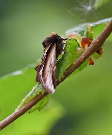 Lesser Swallow Prominent ©Caroline Anderson