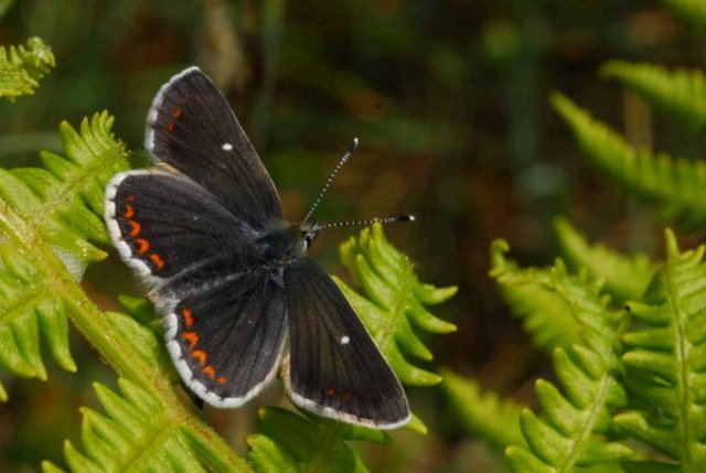 Northern Brown Argus (c) Paul Kirkland : Butterfly Conservation Scotland