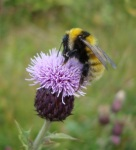 In the UK the Great yellow bumblebee Bombus distinguendu is now largely confined to coastal species-rich grassland in Scotland © Martin Scott+RSPB