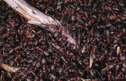 red wood ants, (C) Lorne Gill/SNH